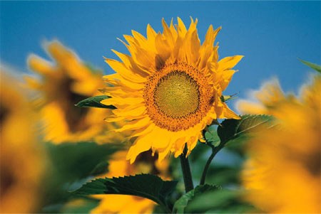 sunflower-image